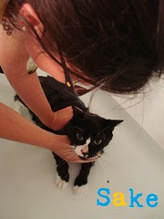 "Sake gets a bath • <a style=""font-size:0.8em;"" href=""http://www.flickr.com/photos/73968363@N02/6676919981/"" target=""_blank"">View on Flickr</a>"