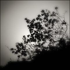 Belle of the Night (Regine Sahmel) Tags: silueta bwmonochrome vefetación