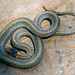 Redbelly Snake