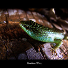 Green Lizzard (nora2810) Tags: colour cute green nature animal comel lizard smiley dyr fujifilmfinepixs9500