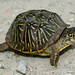 Ornate Box Turtle from Missouri