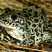 Northern Crawfish Frog