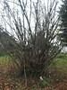 hazelnut bush growth (growing hazelnuts) Tags: farming treeroots filberts hazelnuts hazelnuttree plantingtrees nurserystock hazelnutbush filbertbush yearlingtree