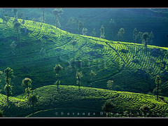 Tea Green (Sara-D) Tags: green asia estate tea sl sri lanka srilanka ceylon lk southasia teaestate sarad saranga colorphotoaward haputhale sarangadevadealwis theoriginalgoldseal sarangadeva