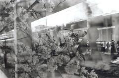 Doppioscatto: Fiori + Treno (XIPPA (Andrea Scippa)) Tags: pictures flowers blackandwhite bw italy black flower green film station train 1 italian italia rail olympus double bn trainstation firenze locomotive fiori om stazione bianco treno ilford fp4 zuiko nero om1 om2 multi biancoenero binari doppio scatto rotaie ferrovie immagini multiscatto vapore rullino locomotore trenoavapore sovrapposte sovrapposta doppiscatto