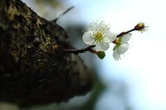 IMG_6007 (Sandor's Album) Tags: flowers flower blossom plum hsinchu taiwan       nationaltsinghuauniversity drmeimemorialgarden