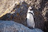 Penguin on Boulder Beach (Lauren Barkume) Tags: africa vacation rock southafrica penguin december ct capetown jackass westerncape 2011 laurenbarkume gettyimagesmeandafrica1