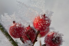 Frozen berries (Martin de Lusenet) Tags: winter frozen berries 2012 seo heemskerk vorst coth greatphotographers flickraward lusenet coth5