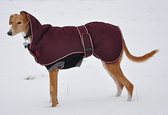 DSC_0104 - Snow Queen - Explored! (SWJuk) Tags: park uk winter england greyhound snow home dogs nikon lancashire ruby 2012 saluki burnley d90 towneley nikond90 salukigreyhound myfreecopyright swjuk feb2012