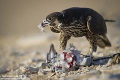 Falcon (RASHID ALKUBAISI) Tags: nikon falcon 28 f28 d3 2012 doha qatar rashid 400mm      d3x alkubaisi  d3s   ralkubaisi nikond3s mygearandme  wwwrashidalkubaisicom