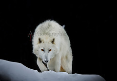 Artic Wolf/ Loup Artique - beluga 7