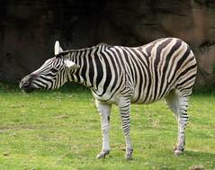 Damara Zebra (sandy richard) Tags: usa oregon portland zoo unitedstates portlandoregon oregonzoo sandyrichard sandrarichard