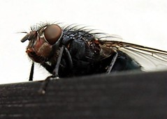 2012-02-07 - House Fly (Ken_Lord) Tags: blue red hairy glass canon insect fly bottle wings dirty 55mm pokey spiny parasite housefly extensiontube 36mm kenko flickraward t1i