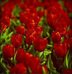 bloody red (sole) Tags: flowers light red flower holland nature netherlands beautiful beauty dutch canon garden ilovenature photography spring rojo fotografie tulips natur flor thenetherlands natuur ethereal mooi lente rood motherearth tulipa tulpen tulipan naturesfinest flowersofspring floras sole carmengonzalez naturalcolours naturepoetry wonderfulworldofflowers carmengonzalezphotography tulpenfestival2011noordoostpolder