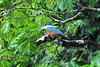 Kingfisher, Tortuguero, Costa Rica