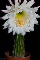 Flor de Trichocereus candicans, cactus (Gastn S.) Tags: flowers cactus patagonia white flores flower blanco argentina cacti nikon flash flor sb600 nocturna neuqun cultivo trichocereus candicans plottier d5000 sofbox