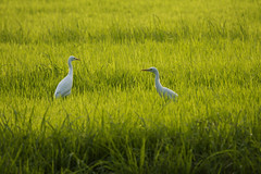 The Green Twins! (VinothChandar) Tags: light india white color green bird heron nature grass birds canon photography photo colorful dof photos pics vibrant wildlife watching birding picture vivid pic fields 5d lush rim egret sanctuary tamilnadu herons egrets 100400 vedanthangal