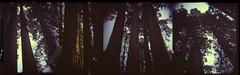 Sequoias (K e v i n) Tags: california ca trees summer vacation film nature forest mediumformat outdoors lomo lomography scan sierranevada dianaf sequoianationalpark 120mm sequoias fujiprovia400 publicland fujirhp epsonv500 july2013 expiredoctober1997 shoton16insteadof12