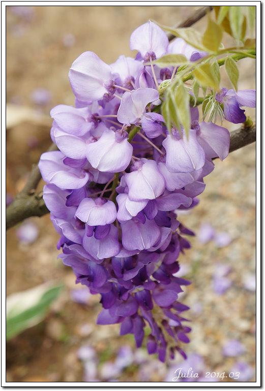 紫藤、老梅 (12)