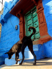 Dog & Blue, Autum Jodhpur, India (Aucunale TNT) Tags: pictures street portrait people woman india man love colors birds square glasses kid photos taxi planet lonely gens inde photosofindia photoofindia
