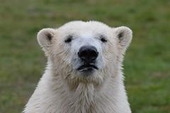 Eisbr Siku im Skandinavisk Dyrepark (Ulli J.) Tags: denmark zoo polarbear dnemark danmark eisbr jutland danemark jylland isbjrn djursland jtland ourspolaire skandinaviskdyrepark kolind midtjylland centraljutland mitteljtland jutlandcentral