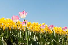 20160508-_DSC0856.jpg (BlonTT) Tags: polder bollen bloem tulp