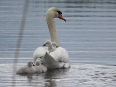 Swan / Zwaan (peeteninge) Tags: nature birds animal animals swan outdoor vogels natuur dieren zwaan