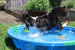 Here comes summer! (sturner404) Tags: dog sun water pool ball puppy fun play echo aussie australianshepherd