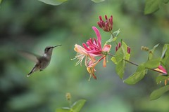 Those flights of fancy (Sam0hsong) Tags: birds northcarolina hummingbirds honeysuckle