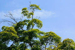 irohamomiji_dsc_3477 (takao-bw) Tags: plant japan maple japanesemaple