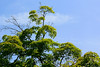 irohamomiji_dsc_3477 (takao-bw) Tags: plant japan maple japanesemaple 植物 カエデ イロハモミジ ムクロジ科