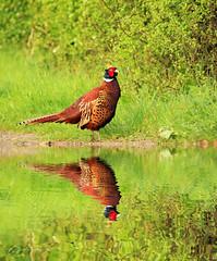 pheasant reflection (~ **Barbara ** ~) Tags: wild bird photoshop lane gamebird refelection wildfowl sigma150500 canon7dii
