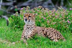 Zoo de Pessac - Mai 2016 (paflechien33) Tags: ed nikon f56 nikkor vr afs d800 2016 200500mm zoodepessac