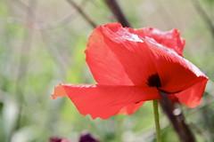 Rosella (Carme Carles) Tags: poppies amapolas roselles