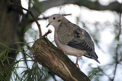 Pomba-de-bando, Eared Dove, Zenaida auriculata (HelenaIlustra) Tags: brazil nature birds brasil natureza aves animais pssaros eareddove zenaidaauriculata pombadebando