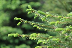 new growth time (karma (Karen)) Tags: trees home backyard dof bokeh maryland baltimore spruces newgrowth 4spring