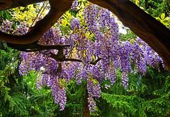 9232 Wisteria (sinensis Glyzinie) (Fotomouse) Tags: nature garden bush flickr outdoor natur blossoms lila lilac shrub garten wisteria strauch busch draussen blten sinensis glyzinie strucher fotomouse