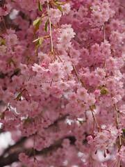 (ChihPing) Tags: japan shrine olympus   sakura     omd     sakurayama em5