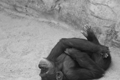 Relaxed (sophiehep) Tags: monkey calm ape relaxed primate bioparc