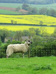 cotswolds near Chipping Campden (gerben more) Tags: flowers england nature colors animal yellow landscape europe colours sheep meadow cotswolds