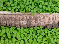 Un tronco seco en el jardn (jpi-linfatiko) Tags: naturaleza detalle detail verde green nature garden hojas natural jardin vegetation tronco vegetacion arbusto