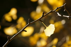 Yellow ! (peaceful-jp-scenery) Tags:  maidenhairtree       shosenkyo dslra700 sal70300g sony70300g