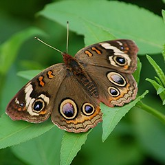 Common Buckeye is anything but common! (jungle mama) Ta