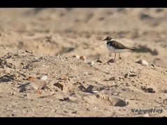 Aves en la desembocadura del Ro de Oro (Trainspotting ML) Tags: fauna ro mar playa melilla oro desembocadura playasanlorenzo pwmelilla melillarodeoro melillaro melillafauna