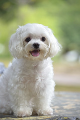 nini ( my daughter  my angel ) ( Boti) Tags: dog pet animal angel puppy nikon outdoor taiwan cutie lovely maltese stickingouttongue  d7000