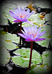 ~~Tropical Waterlily/Oahu, Hawaii #3~~ (TravelsThruTheUniverse) Tags: waterlilies ponds tropicalplants tropicalflowers waterfeatures zengardens exoticflowers summergardens tropicalgardens tropicalfoliage waterinthegarden tropicallandscapes flickrstruereflection1