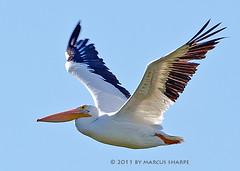 White Pelican (Marcus Sharpe) Tags: white 3 nature birds island december marcus florida birding pelican merritt blackpoint sharpe 2011