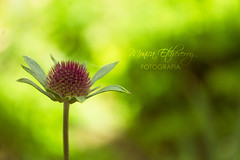 only one (Mnica Etcheverry) Tags: light flower macro verde green art primavera luz season photo spring nikon focus december day foto bokeh background live flor dia explore frame only fondo unica encuadre project365 d3100