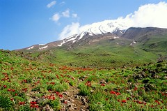 Poppies on the slopes of mount Damavand (5671 m), Iran (Frans.Sellies) Tags: iran damavand    22820009