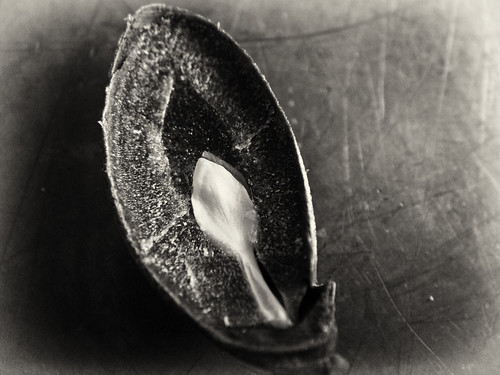 2011 Persimmon Seed